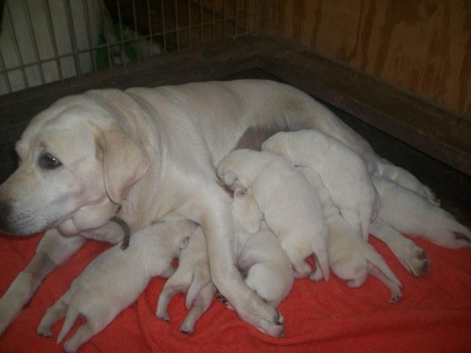 Dory's White Lab puppies