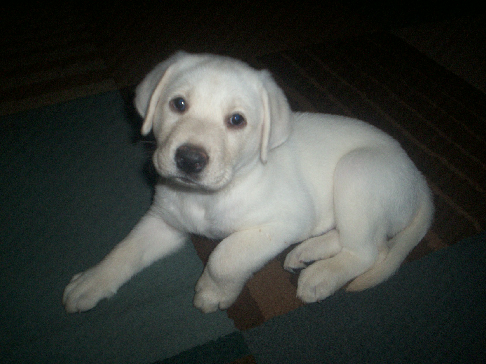 This Male Puppy Is Available Now My White Labs