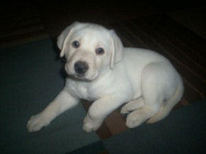 Male lab puppy