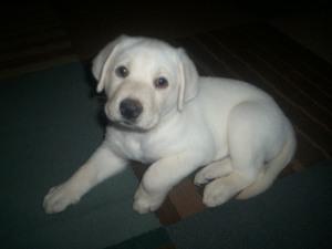 Male lab puppy