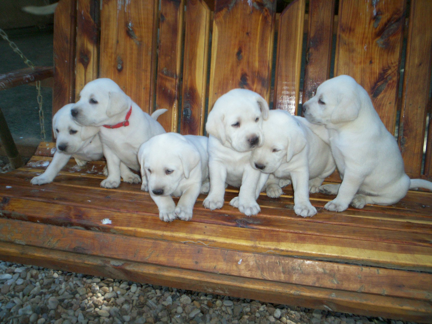 Female White Lab Puppies For Christmas My White Labs