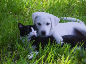 Labs love cats!